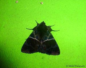 Leistera pulchristrigata (Erebidae, Erebinae)