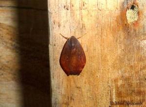 Macaduma spec. (Erebidae, Arctiinae) Arfak