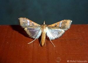 Maruca vitrata Borneo