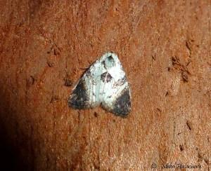Meganola atrinota (Nolidae, Nolinae) Arfak