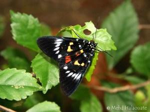 Moth Episteme, probably E. bisma Nusa Penida