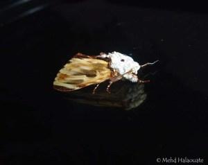 Neopheosia fasciata, Notodontidae Borneo