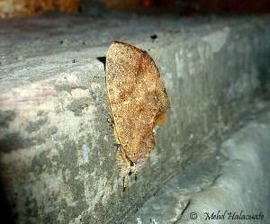 Notodontidae from Arfak