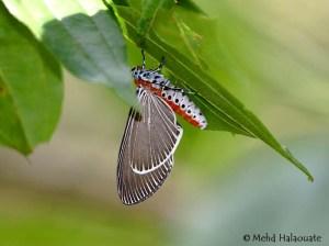 Nyctemera Butterfly Buru