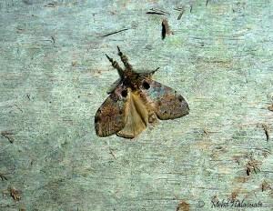 Olene species Arfak