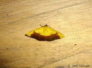 Probably Corymica sp. Geometridae Ennominae