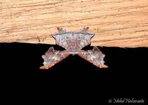 Probably Krananda (Ennominae) Arfak Moth 6