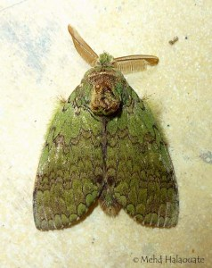 Prominent Moth (Netria cf. viridescens, Notodontidae) Bali