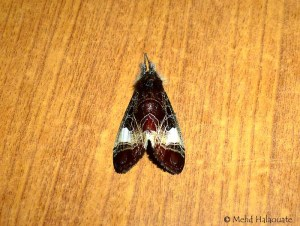 - Sarbanissa sp Moth Borneo 6