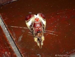- Sarbanissa sp Moth Borneo 6b