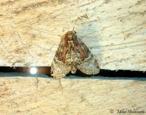 Schoutenia meeki (Notodontidae) Arfak