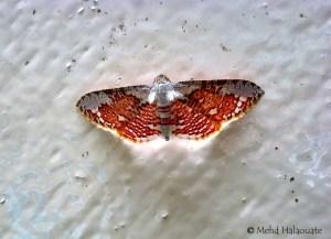 Siculodinae, Thyrididae Borneo
