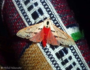 Spilosoma groganae Borneo