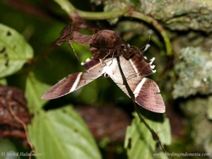 Swallowtail Moth (Lyssa macleayi)
