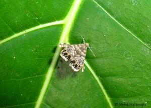 Peacock Brenthia Moth (Brenthia sp)
