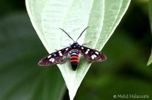 Tiger moth or Wasp Moth (Euchromia creusa) (Linnaeus, 1758)