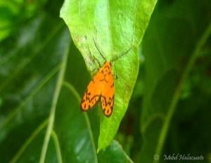 Trichocerosia variabilis (Erebidae, Arctiinae, Lithosiini) from Waigeo