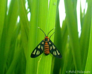 Wasp Moth, Amata huebneri, Bali